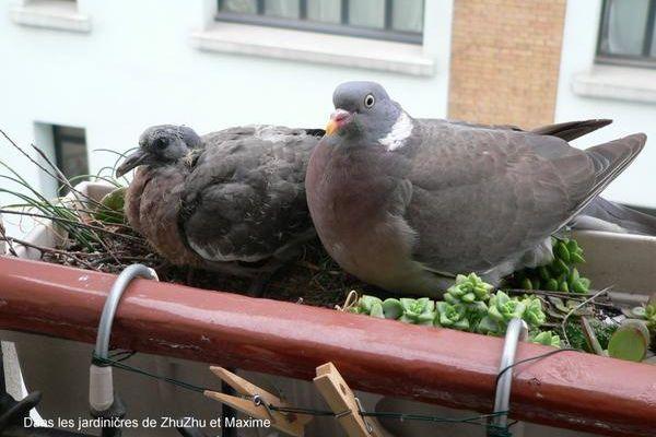 Pigeon dans la jardinière
