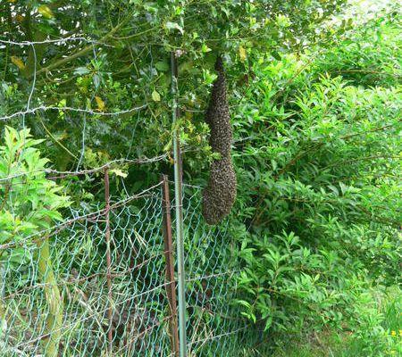 Essaim d'abeilles dans le jardin en mai