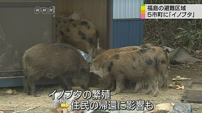 Boar-pigs in increasing numbers
