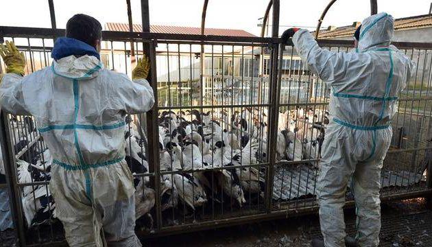 Grippe aviaire : 600.000 canards vont être abattus dans les Landes