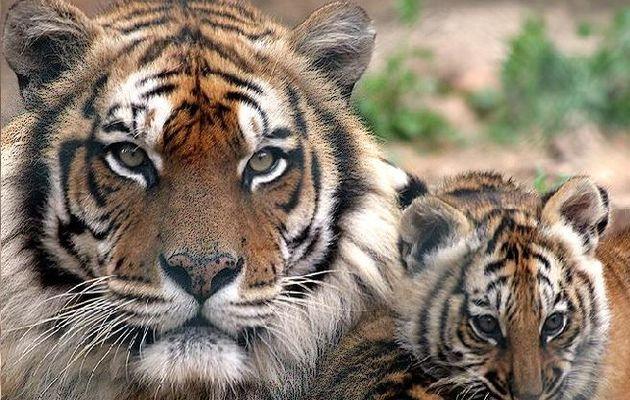 50 ans du Tiger Meet à Cambrai