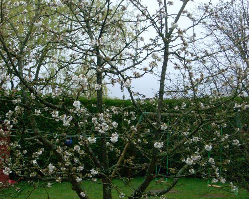 sous le cerisier...