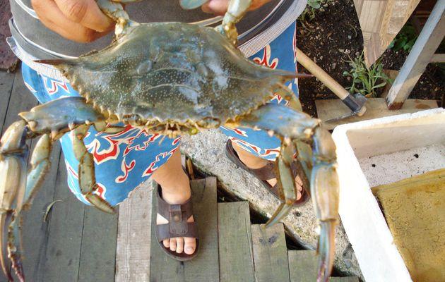 Crabe bleu du sud turc et l'objet insolite