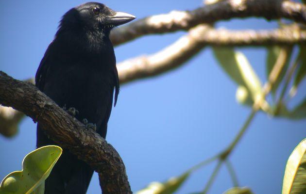Un corbeau décidément incroyable !