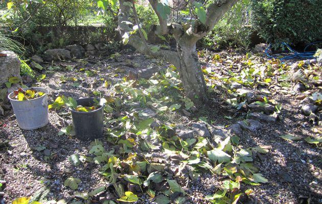 Figuier, c'est l'automne et tes feuilles tombent ...