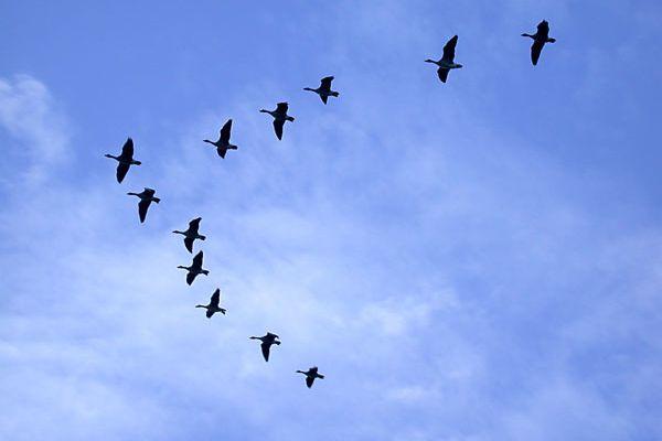 Pourquoi les oiseaux volent en V ?