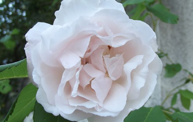 Rose délicate