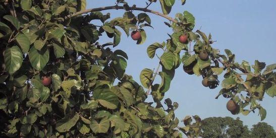 Un arbre africain sécrète un antidouleur: le nauclea latifolia