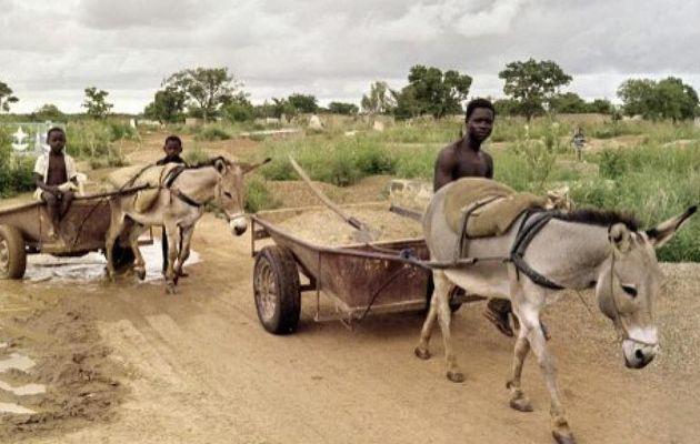 Abattage massif des ânes au Burkina Faso:...