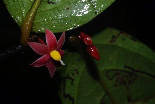 Découverte d'une nouvelle plante à fleurs dans  la forêt tropicale du Gabon