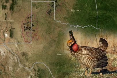 @TexasTribune: Lesser #Prairie Chicken living in...
