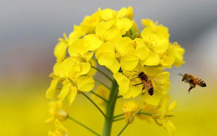 Les abeilles en déclin