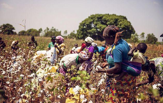Comment le coton OGM de Monsanto s'est...