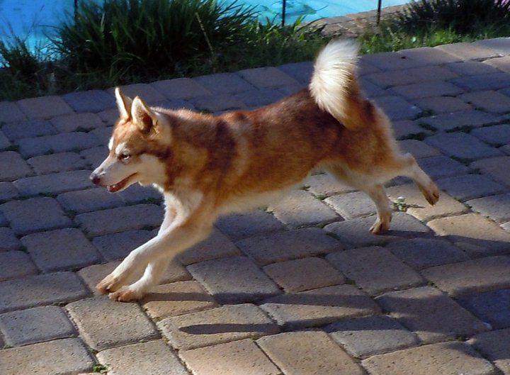 Téléchargement de l'image mini-husky-roux-blanc