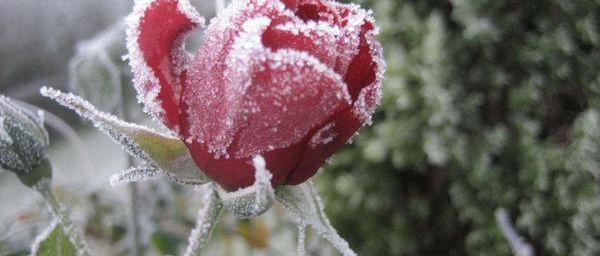 Une rose, pour vous remercier de vos visites..