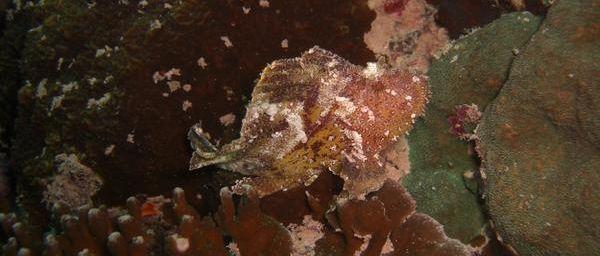 Poisson scorpion feuille (Taenianotus tricanthus)