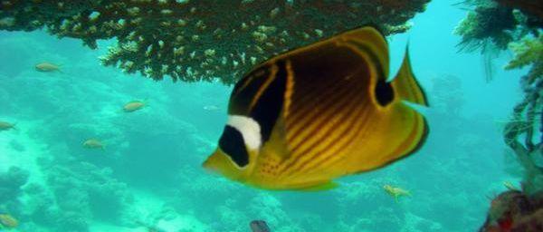 Poissons des récifs coralliens de l'océan indien à Mayotte