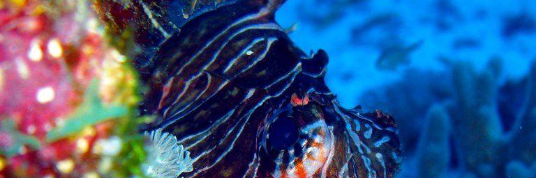 Rascasse volante, poisson lion (Pterois miles) de l'océan Indien