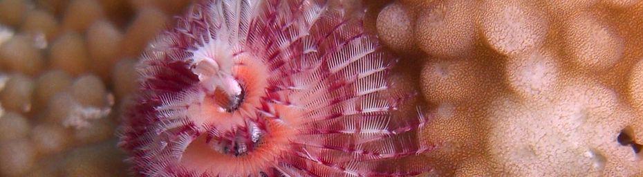 Spirobranche (Spirobranchus giganteus), ver marin benthique à Mayotte