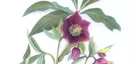 hellébore ou rose de noël
