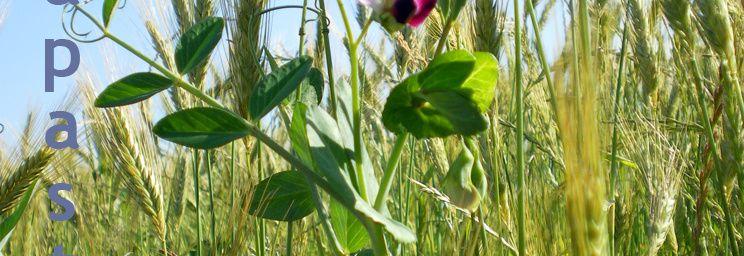 Vesce des champs...et riz à la betterave