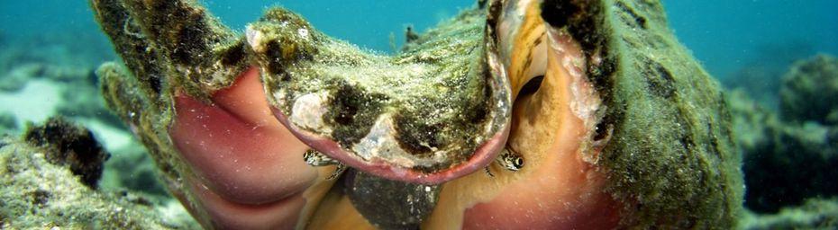 Coquillage ; Lambis Truncata un Gastéropode Prosobranche