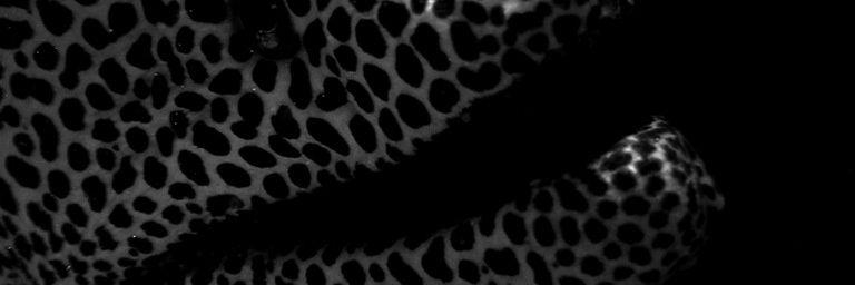 Murène léopard (Gymnothorax favagineus)