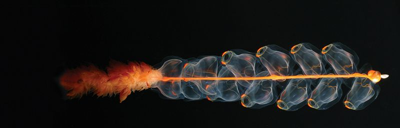 Today's shots : Siphonophore (Marrus orthocanna)