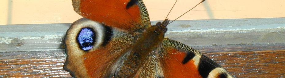 Papillon : Paon de jour