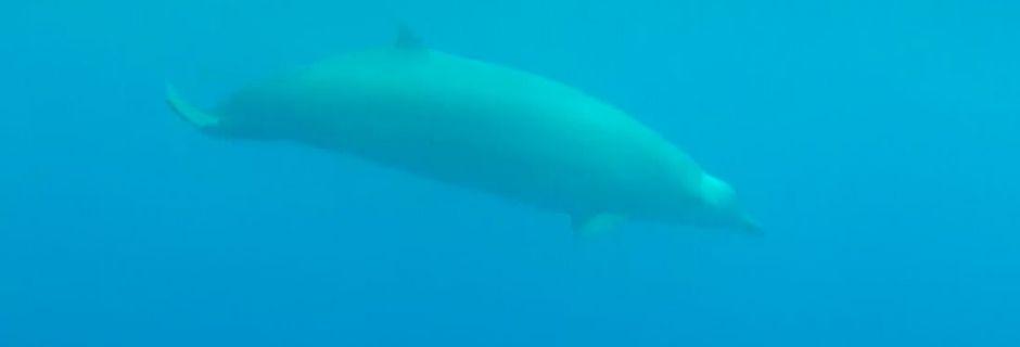 Pour la toute première fois, la baleine à bec de True est filmée sous l'eau