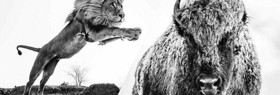 Contemplez l'incroyable travail de David Yarrow, l'un des meilleurs photographes animaliers du monde