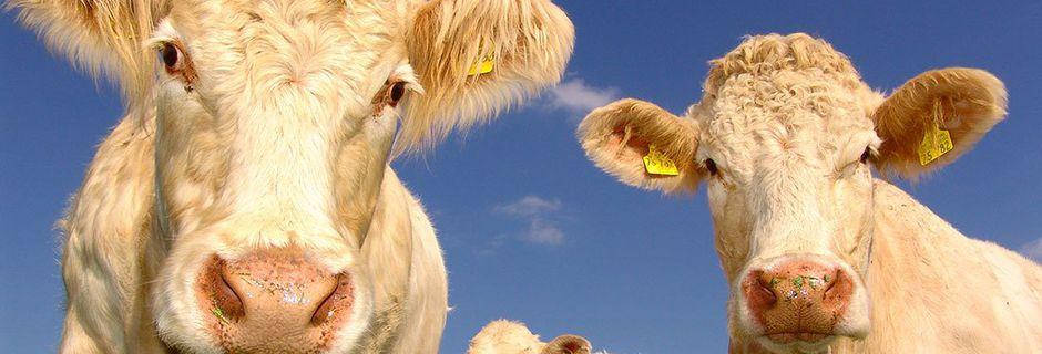 QUIZ : Que savez-vous vraiment des vaches ?...