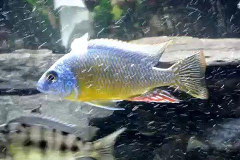 "Protomelas sp. ""steveni taiwan"" Taiwanee Reef"