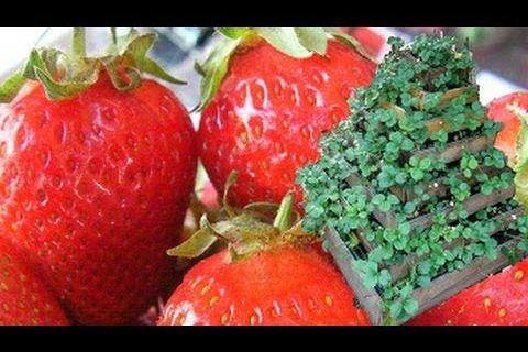 La culture facile des fraises biologiques : la Fontaine à fraises