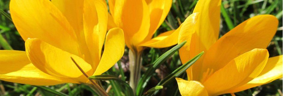 Sonnengelber Frühling