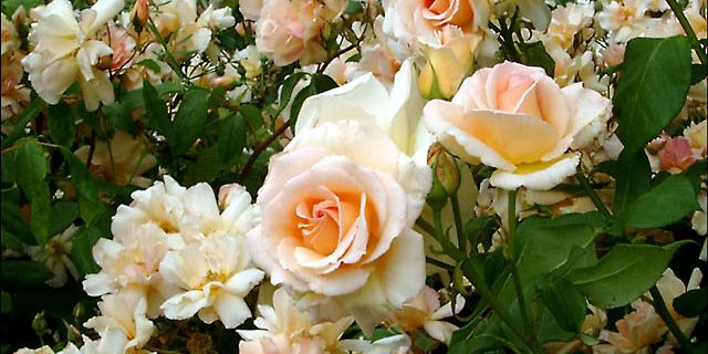 Seconde commande de roses