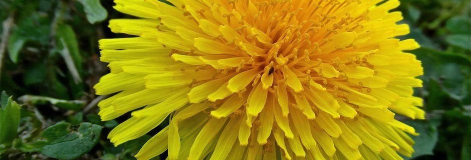 Jaune, vert, vigne c'est la fleur du Pissenlit !