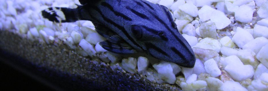 Pleco Royal