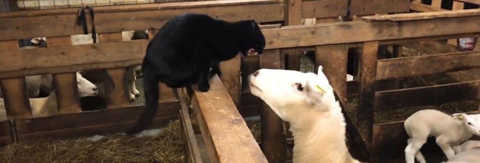 Vous détestez les chats qui jouent les malins? Voici la revanche du mouton