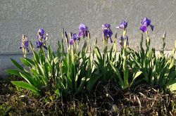 Division de touffe d'iris