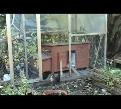 Jardin, poule : Avoir des poules dans son jardin