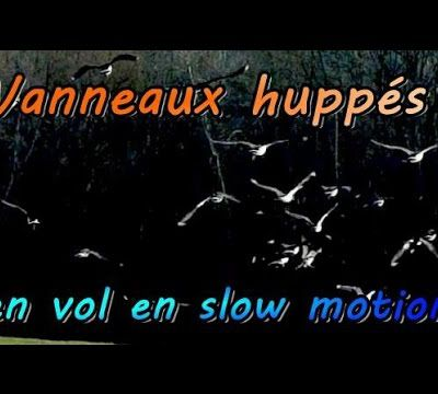 VANNEAUX HUPPES EN VOL ET EN SLOW MOTION, VIDEOS