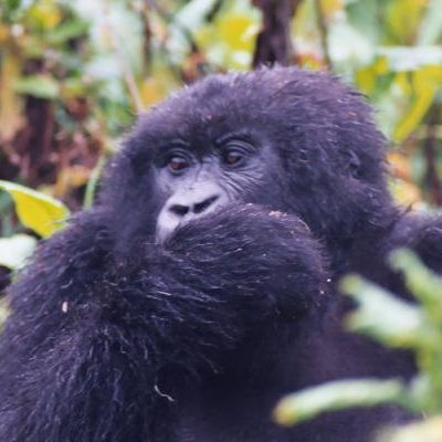 Meet the GORILLAS, a very special african experience