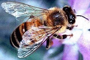 Le déclin des populations d'abeilles et ses conséquences