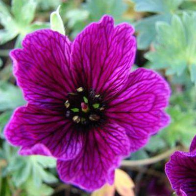 Géranium Cinérum Purple Pillow