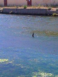 La légende de l'aileron de requin des salins de La Capte (Hyères)...