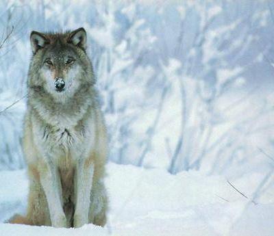 Loups, Lou,… pour nos gentils loulous