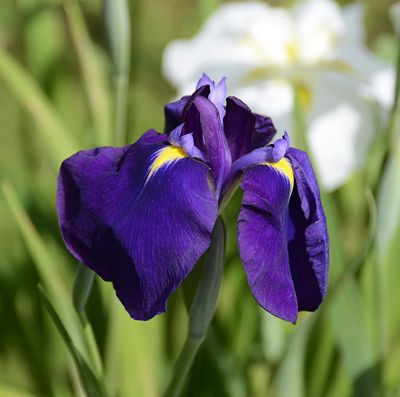 Iris ensata 'Good Omen'