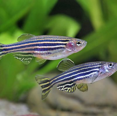 Reproduction du Danio Rerio