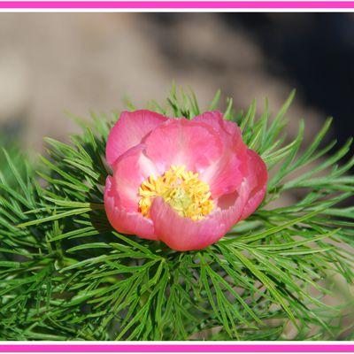 Petite perle botanique, une belle pivoine pour le printemps